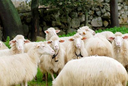 Die italienischen Schafsrassen Massese, Sarda und Garfagnina