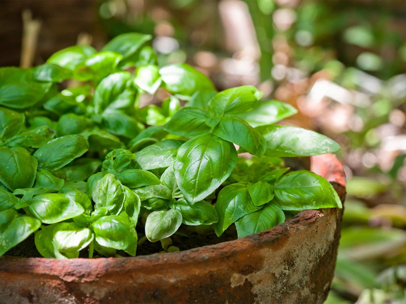Basilikum anpflanzen wie in Italien
